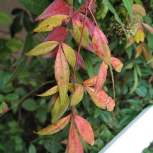 ナンテン 一部の葉が紅葉