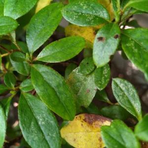 カラフネツツジ 一部の葉が黄葉