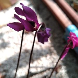 シクラメン プルセブランス 引き続き花盛り