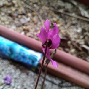 シクラメン プルセブランス 最後の花