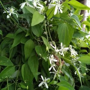 クレマチス センニンソウ 1つるの花満開