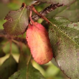 ベニバスモモ 一部の葉が紅葉