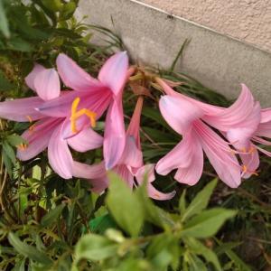 ナツズイセン 2番花満開