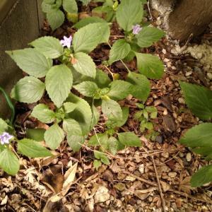 スズムシバナ (キツネノマゴ科) 花盛り