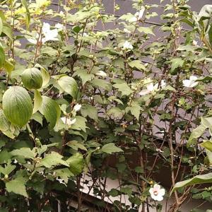 ムクゲ 日の丸  2番花花盛り