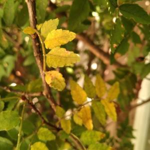 イヌサンショウ 黄葉始まる