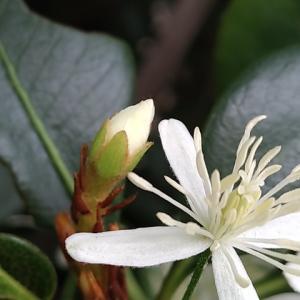 シャリンバイ 2番花のつぼみ
