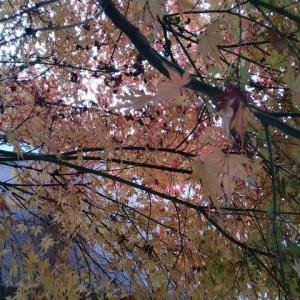 イロハモミジ 紅葉/黄葉進む
