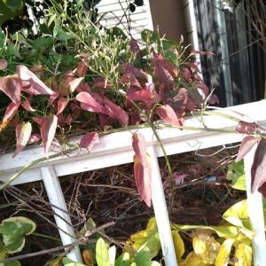 センニンソウ 一つるの葉が深紅に紅葉