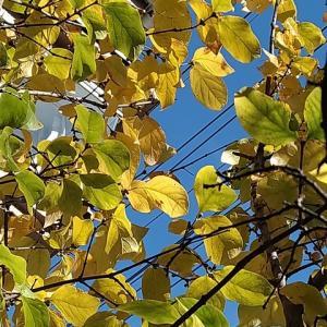 マンゲツロウバイ 枝々紅葉進む