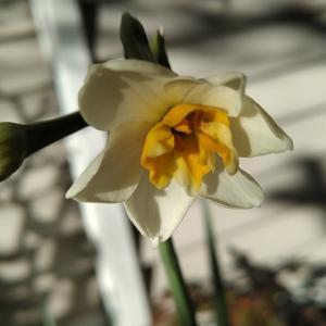 二ホンスイセン 開花