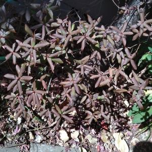 ヒカゲツツジ 赤紫の紅葉