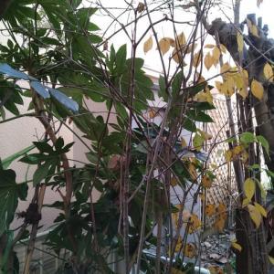ヤマボウシ 黄葉終わる