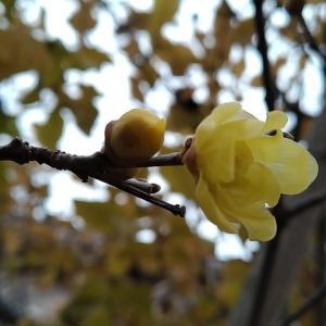 マンゲツロウバイ 開花