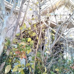 マンゲツロウバイ 黄葉の盛り