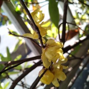 マンゲツロウバイ 一枝の花満開