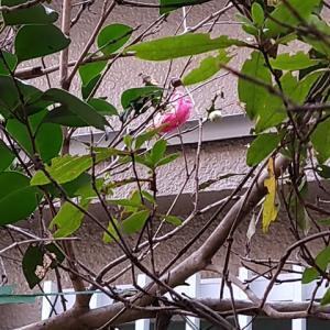 ツバキの2番花開花
