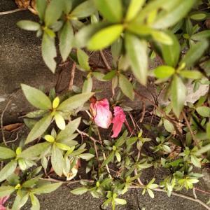 サツキ 花終わり