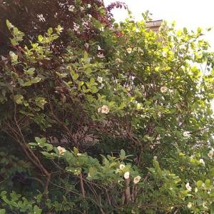 ナツツバキ 花盛り