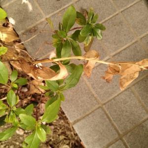 黒カノコユリ 黄葉終わり