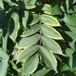 ナナカマドの一部の葉に、黄緑の縁取り