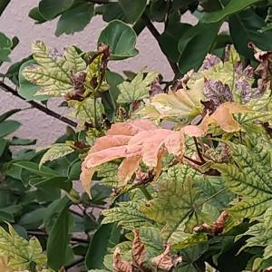 ハウチワカエデ 赤黄色の新葉