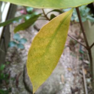 シキミ メキシカナム 一部の葉が黄葉