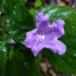 スズムシグサ 開花