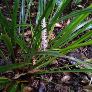 ヤブランの花穂が出ました。