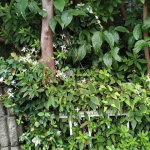 センニンソウ 花盛り