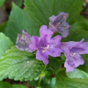 スズムシグサ さらに花房満開