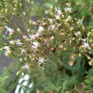 フジバカマ 開花