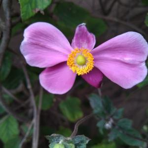 シュウメイギク 開花