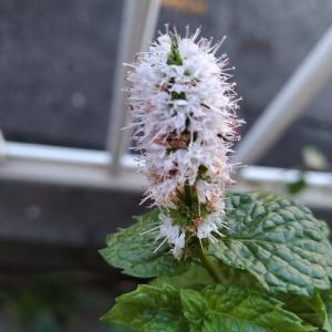 ペパーミント 2番花花穂満開