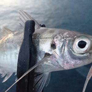 外房アジング 2月12日 釣女の新しいロッドに鱗付け