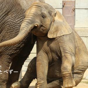 ゾウ欠乏症の皆様、砥愛ちゃんの愛らしい姿をど~ぞ♪