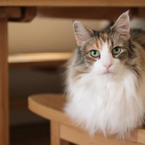 ペットショップで28万円のネコ盗んだ無職女を逮捕「私が以前拾った猫で、盗んでいない」と容疑を否認