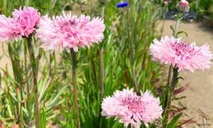 ゴボウの花!見たことありますか?
