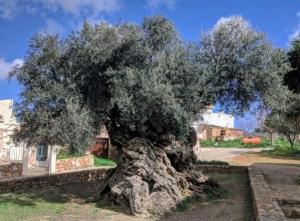 世界一古いオリーブの木がある島とは?