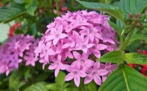 理科クイズ  92 (夏の暑さに強い園芸植物です。この植物は何の仲間でしょうか?)