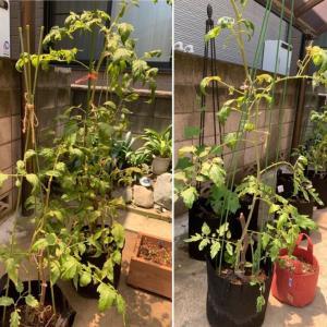 ウチのトマトは花芽を付けないツルボケ