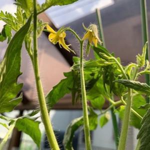 ツルボケトマトが弱々しい花を咲かせました