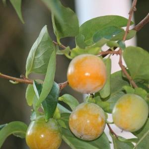 柿も熟れ頃・・・