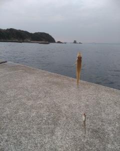 3月18日(水)、南知多キス釣りにて今シーズン初キスゲット !!