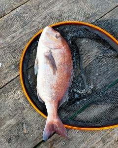 2月19日(金)、南伊勢でイカダ釣り ~イカダで釣る真鯛についての考察~