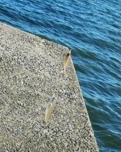 豊浜釣り桟橋でゴミ拾い & 9月19日(日)南知多にてキス投げ釣り