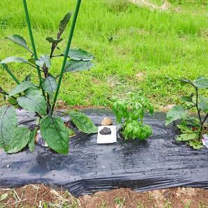【 家庭菜園 】手作りのアリの巣コロリ!