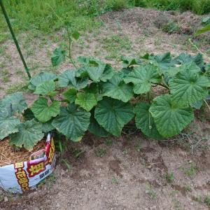 【 きゅうり 】初栽培で初収穫です♪