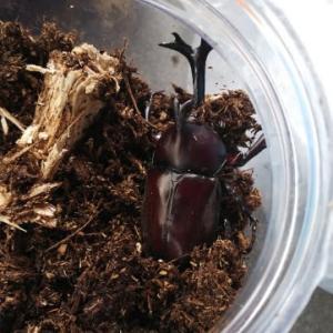 カブトムシ、成虫になりました!
