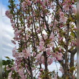 桜( ᐢ˙꒳˙ᐢ )♡
